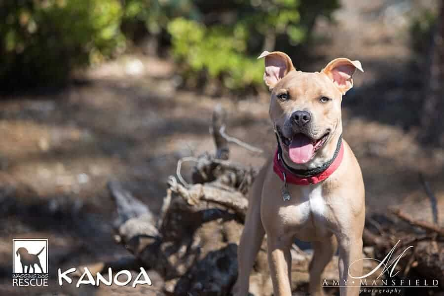 Picture of adoptable rescue dog Kanoa